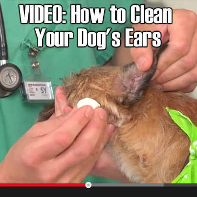 Natural Ways To Clean Your Dogs Ears