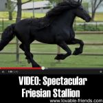 VIDEO: Spectacular, Highly Acclaimed Friesian Stallion