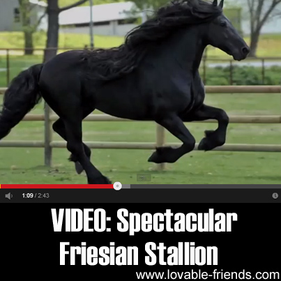 VIDEO - Spectacular Highly Acclaimed Friesian Stallion