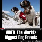 VIDEO: The World's Biggest Dog Breeds