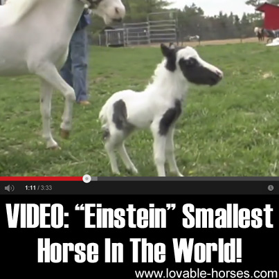 VIDEO - Einstein Smallest Horse In The World