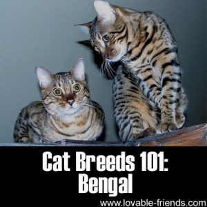 Cat Breeds 101 - Bengal