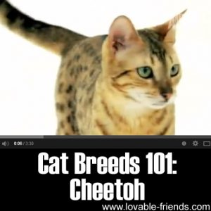 Cat Breeds 101- Cheetoh