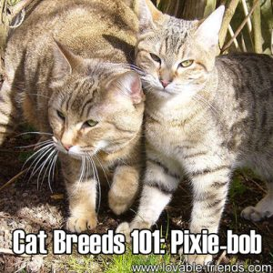 Cat Breeds 101- Pixie Bob