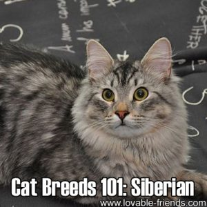 Cat Breeds 101 - Siberian