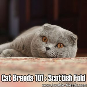 Cat Breeds 101 - The Scottish Fold