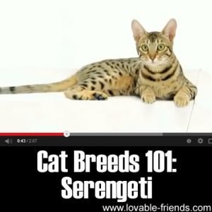 Cats Breeds 101- Serengeti