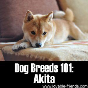 Dog Breeds 101-Akita