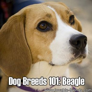 Dog Breeds 101 - Beagle