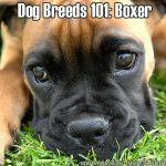 Dog Breeds 101: Boxer!