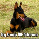 Dog Breeds 101: Doberman Pinscher!