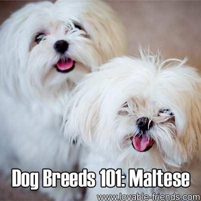 Dog Breeds 101: Maltese – Image To Repin / Share