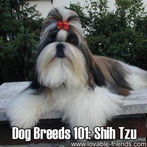 Dog Breeds 101- Shih Tzu