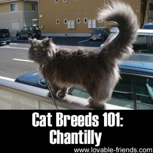 Cat Breeds 101 - Chantilly