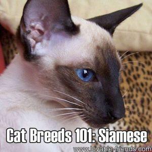 Cat Breeds 101: Siamese