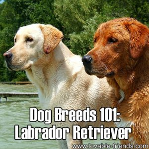 Dog Breeds 101 - Labrador Retriever
