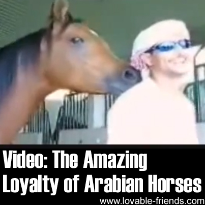 Video - The Incredible Loyalty of Arabian Horses