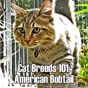 Cat Breeds 101 - American Bobtail
