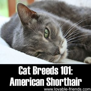Cat Breeds 101 - American Shorthair