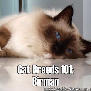 Cat Breeds 101 - Birman
