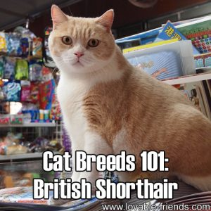 Cat Breeds 101 - British Shorthair