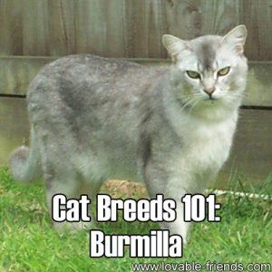 Cat Breeds 101 - Burmilla