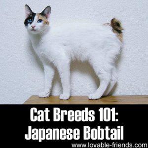 Cat Breeds 101 - Japanese Bobtail