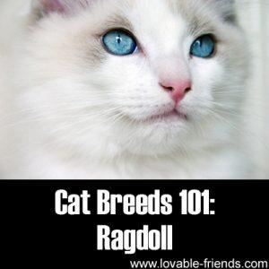 Cat Breeds 101 - Ragdoll
