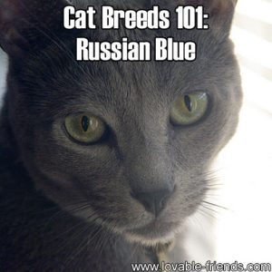 Cat Breeds 101 - Russian Blue