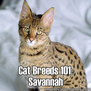 Cat Breeds 101 - Savannah
