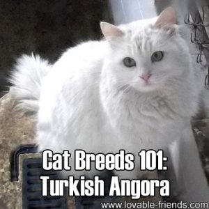 Cat Breeds 101 - Turkish Angora
