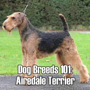 Dog Breeds 101 - Airedale Terrier
