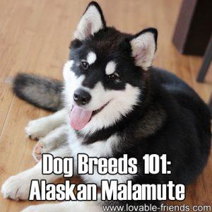 Dog Breeds 101 - Alaskan Malamute