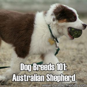 Dog Breeds 101 - Australian Shepherd