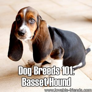 Dog Breeads 101 - Basset Hound