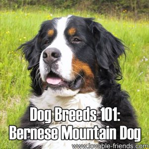 Dog Breeds 101 - Bernese Mountain Dog