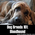 Dog Breeds 101: Bloodhound!