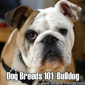 Dog Breeds 101 - Bulldog
