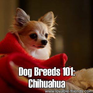 Dog Breeds 101 - Chihuahua