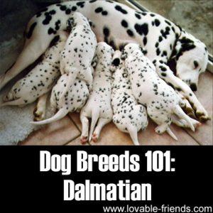 Dog Breeds 101 - Dalmatian