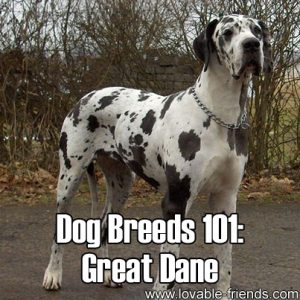 Dog Breeds 101 - Great Dane