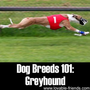 Dog Breeds 101 - Greyhound