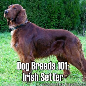Dog Breeds 101 - Irish Setter