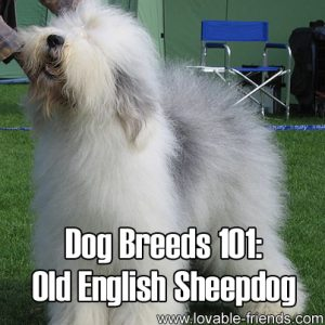 Dog Breeds 101 - Old English Sheepdog