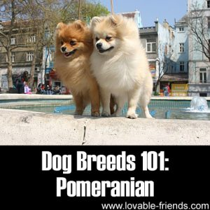 Dog Breeds 101- Pomeranian