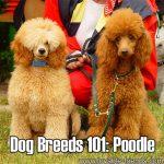 Dog Breeds 101: Poodle!