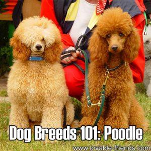 Dog Breeds 101 - Poodle