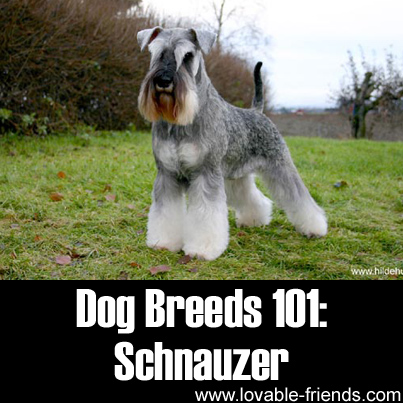 Dog Breeds 101: Schnauzer – Image To Repin / Share