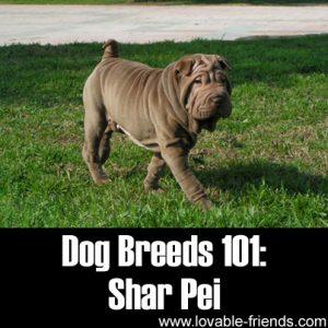 Dog Breeds 101 - Shar Pei