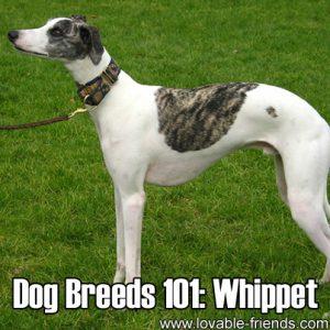 Dog Breeds 101 - Whippet